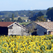 Barns and sunflower fields